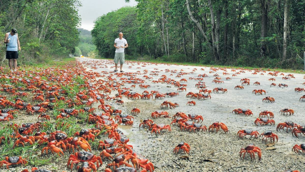 Millions of crabs emerge from the Christmas Island forest and head for the sea.