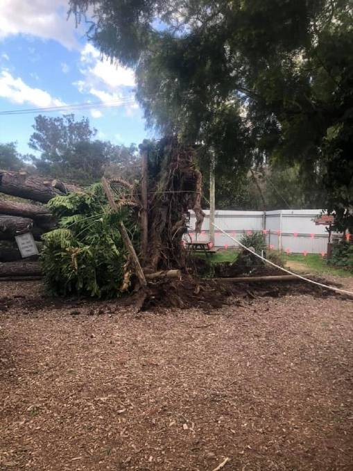 Moonan Flat's iconic old pine tree falls victim to windy ...
